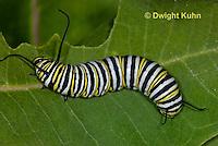 MO02-517z  Monarch Caterpillar on Milkweed - Danaus plexipuss
