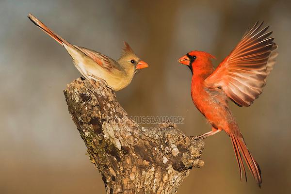 Northern Cardinal (Cardinalis cardinalis), pair fighting, Bandera, Hill Country, Texas, USA