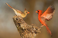 Northern Cardinal (Cardinalis cardinalis), pair fighting, Bandera, Hill Country, Texas, USA