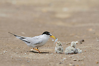 Least Tern (Sterna antillarum), adult with newly hatched young, Port Isabel, Laguna Madre, South Padre Island, Texas, USA