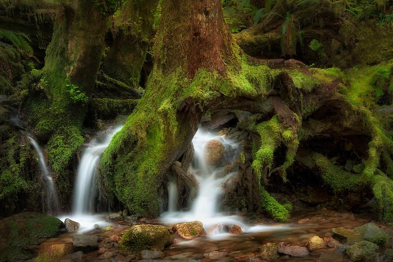 Seasonal stream flowing through roots of tree. Opal Creek wilderness. Willamette National Forest, Oregon