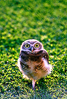 Animais. Aves. Filhote de Coruja ( Athene cunicularia).SP  Foto de Daniel Augusto Jr.
