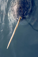 narwhal, Monodon monoceros, showing ivory tooth or tusk, Northwest Greenland, Arctic Ocean