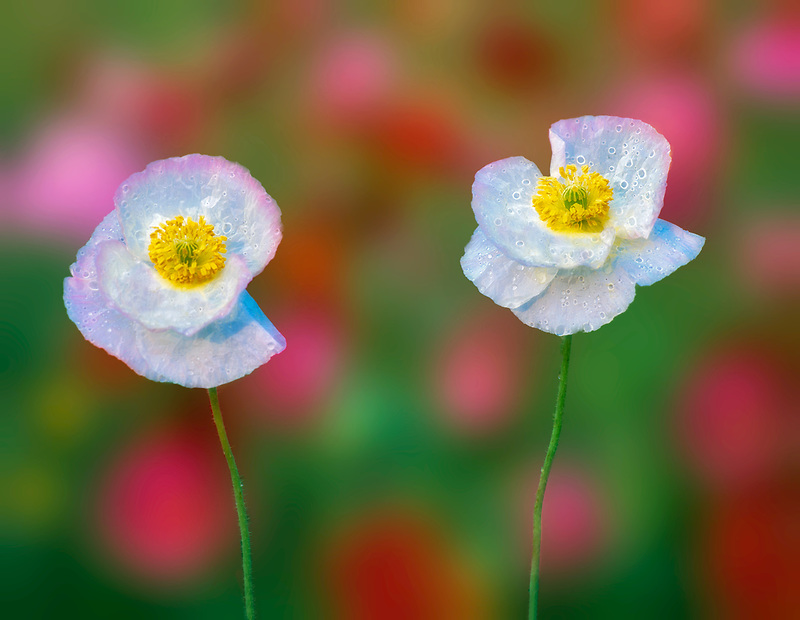 White poppy flowers in garden of mixed poppies. Summer Lake Inn, Oregon