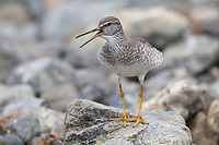Gray-tailed Tattler (Tringa brevipes) in breeding plumage giving alarm call to warn its chicks. Chukotka, Russia. July.