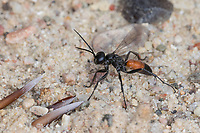 Wegwespe, Weg-Wespe, Arachnospila spec., spider wasp, Wegwespen, Pompilidae, pompilids, spider-hunting wasps, spider wasps