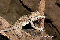 1R15-506z  Bearded Dragon eating insect prey, Popona vitticeps, Amphibolorus vitticeps
