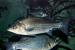 Hybrid Striped Bass swimming left