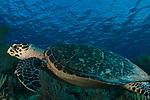 Critically Endangered, Cuba Underwater, Hawksbill turtle, Jardines de la Reina, Protected Marine park underwater, Eretmochelys imbricata