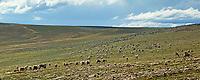 Panorama of the Western Arctic caribou herd, Utukok Uplands, National Petroleum Reserve Alaska, Arctic, Alaska.