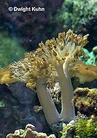 1Y51-510z Pulsing Polyp Coral, Xenia spp.