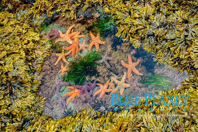 ochre sea star, Pisaster ochraceus, in tide pool wih coralline algae, Corallina species, bladder wrack, Fucus vesiculosus, and Scouler's surfgrass, Phyllospadix scouleri, Shi Shi Beach, Olympic Coast National Marine Sanctuary, Washington, USA, Pacific Ocean