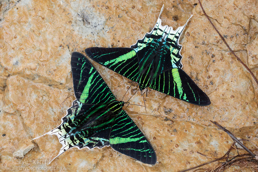 Green-banded Urania (Urania leilus) moths drinking salts from mineral-rich river clay, a behaviour know as 'puddling'. On the banks of the Manu River, Manu Biosphere Reserve, Amazonia, Peru. November.