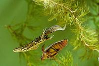 Kleine watersalamander (Triturus vulgaris)