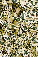 Gardenia jasminoides 'Variegata' foliage