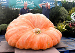 Pictured :   Ian and Stuart Paton react as the weight of the giant squash is revealed, falling just short of the world record.<br /> <br /> A pair of twins have broken the British record for the biggest pumpkin - but narrowly missed out on the world record by just 31lb.<br /> <br /> The incredible gourd weighed in at a whopping 2,593.7lb, two and half times the size of a polar bear, beating the previous UK best of 2,433lb.<br /> <br /> Ian and Stuart Paton, from Lymington in Hampshire's New Forest National Park, said they were 'extremely pleased' with their 'incredible beast'.<br /> <br /> During its three-week growing peak, Ian and Stuart said the pumpkin was gaining around 51lb a day and they spent around six hours a day tending to it.  SEE OUR COPY FOR FULL DETAILS.<br /> <br /> <br /> © Roger Arbon/Solent News & Photo Agency<br /> UK +44 (0) 2380 458800