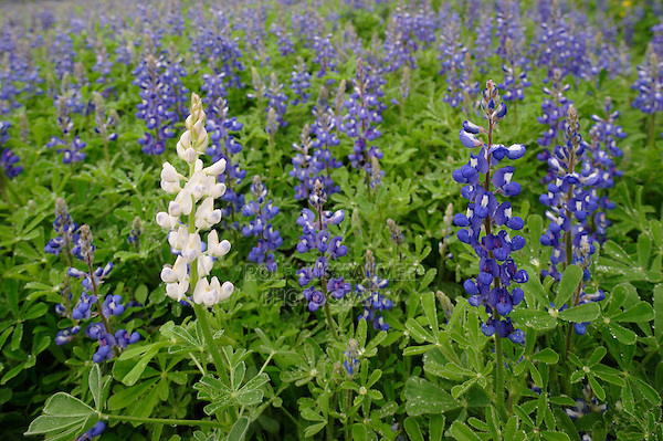Texas Bluebonnet (Lupinus texensis), white flower morph blooming, Gonzales County, Texas, USA
