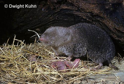 MU15-001z  Short-tailed Shrew - with day old young - Blarina brevicauda