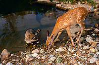 Raccoon and fawn drink from pond, Missouri USA