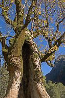 Berg-Ahorn, Bergahorn, Ahorn, im Herbst, Acer pseudoplatanus, Sycamore, Erable sycomore, autumn