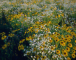 Green River Conservation Area, IL<br /> Black-eyed Susans (Rudbeckia hirta) and common fleabane (Erigeron philadelphicus) in native prairie