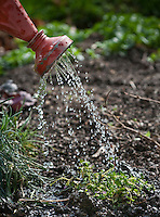 Hand-held rust dcolored  watering can sprinkles herbs in a spring garden.