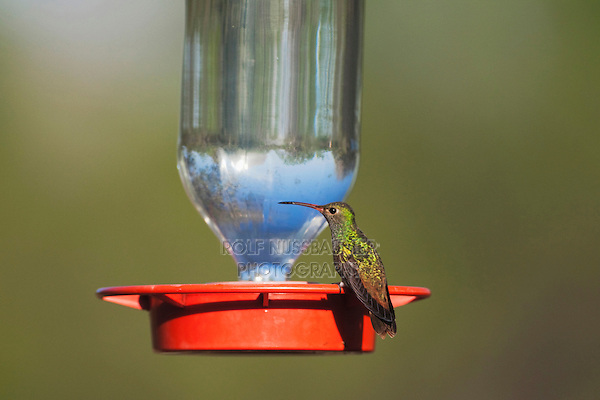 Buff-bellied Hummingbird (Amazilia yucatanenensis), male at feeder, Sinton, Corpus Christi, Coastal Bend, Texas, USA