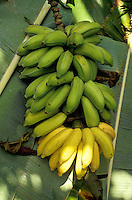Ripening apple bananas attached to branch