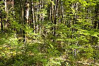 Close up of the beech forest near Arthur's Pass, Canterbury, New Zealand