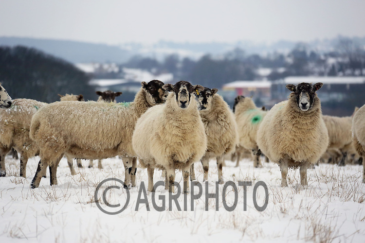 Mule ewe's in the snow.Picture Tim Scrivener date taken 19th January  2012.mobile 07850 303986 e-mail tim@agriphoto.com.....covering agriculture in the Uk....
