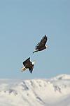 Two bald eagles in flight in Homer, Alaska.