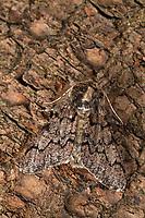 Pappel-Dickleibspanner, Pappeldickleibspanner, Pappelspanner, Biston strataria, oak beauty, Oak beauty moth, la Marbrée, Phalène marbrée, Biston marbré, Spanner, Geometridae, looper, loopers, geometer moths, geometer moth