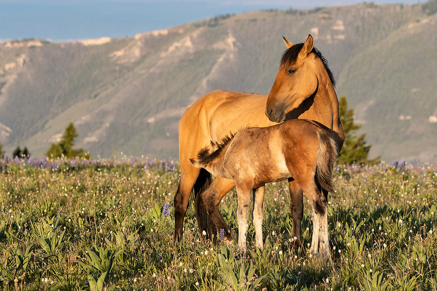 Early morning light finds Usha nursing with Morning Reverie, both of Oro's band.