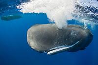 Sperm Whale, Physeter macrocephalus, Dominica, Caribbean, Atlantic