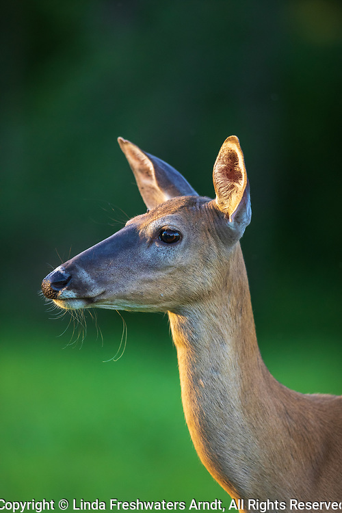 Portrait of a white-tailed doe in northern Wisconsin.
