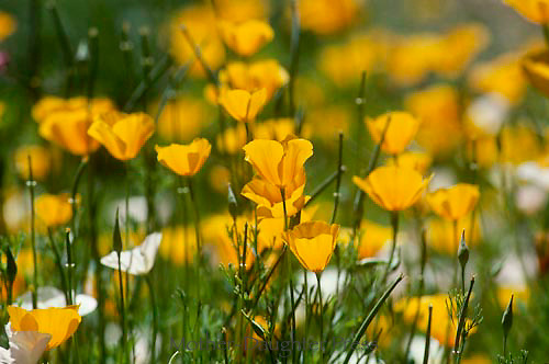 Blooming Mexican Gold poppy, Eschacholtzia Mexicana, April, Arizona