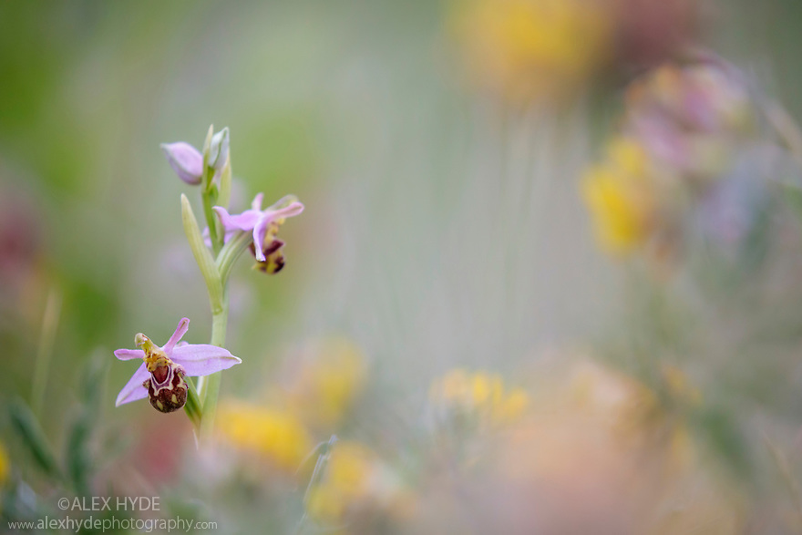 Bee Orchid (Ophyris apifera) growing in sand dune system amongst Kidney Vetch, Ainsdale Nature Reserve, Merseyside, UK. June. Photographer: Alex Hyde