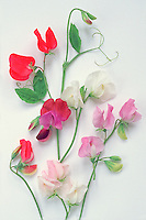 Heirloom antique Cuthbertson varieties of Lathyrus odoratus, sweet peas, on white neutral background, suitable for cutout, greeting card, in mixed colors, showing plant parts of tendrils, flowers, buds, leaves, stems