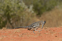Greater Roadrunner (Geococcyx californianus), adult preening, Rio Grande Valley, South Texas, Texas, USA