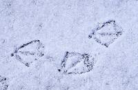 Stockente, Stock-Ente, Fußabdruck auf mit Schnee bedeckter Eisfäche, Fußabdruck, Abdruck der Schwimmfüße einer Ente im Schnee, Trittsiegel, Fußspur, Vogelspur, Vogelfuß, Anas platyrhynchos, Mallard, Canard colvert