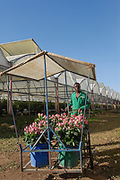 TANSANIA, Anbau von fair trade Schnittblumen Rosen in Gewaechshaus fuer Export nach Europa bei Firma Kiliflora nahe Arusha - TANZANIA Arusha, rose flower cultivation in green house at fair trade company Kiliflora for export to Europe