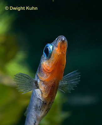 1S14-707z   Male Threespine Stickleback, Mating colors showing bright red belly and blue eyes, close-up of face, Gasterosteus aculeatus,  Hotel Lake British Columbia.