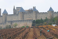 Carcassonne. Languedoc. View over the old city. Men pruning vines. A rainy and misty winter day. France. Europe. Vineyard.