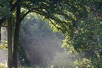Sonnenstrahlen, Sonnenstrahl, scheinen durch das Blätterdach einer Eiche, Eichen, Stimmung, stimmungsvoll, Quercus, shafts of sunlight, sunbeam, ray of sunlight, oak, oaks