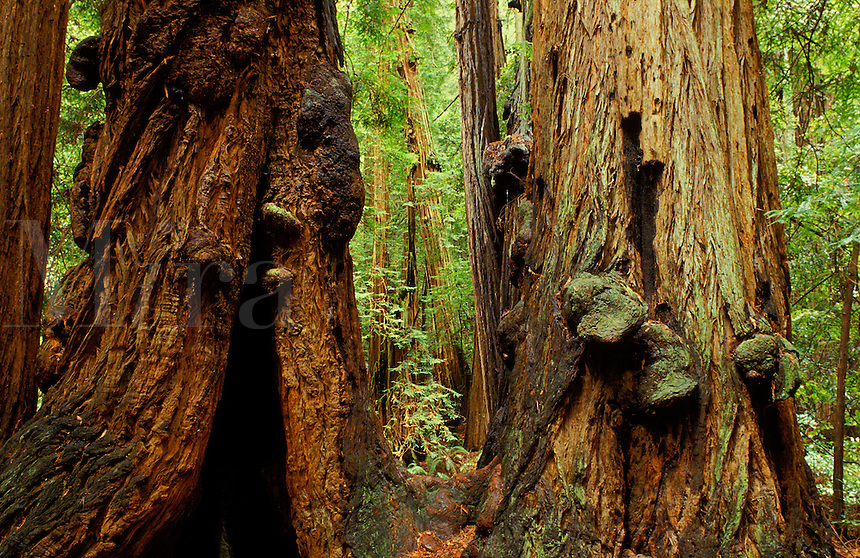 Muir Woods, Sequoia, California, USA