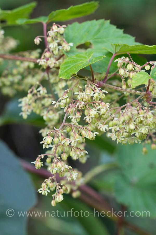 Hopfen, männliche Blüten, männbliche Pflanze,  Gewöhnlicher Hopfen, Echter Hopfen, Humulus lupulus, Common Hop, Hop, hops, Le Houblon, Le houblon grimpant