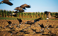 Flock of Canadian geese landing in a corn field.