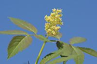 Trauben-Holunder, Traubenholunder, Berg-Holunder, Bergholunder, Roter Holunder, Blüten, Sambucus racemosa, Red Berried Elder, Red Elderberry