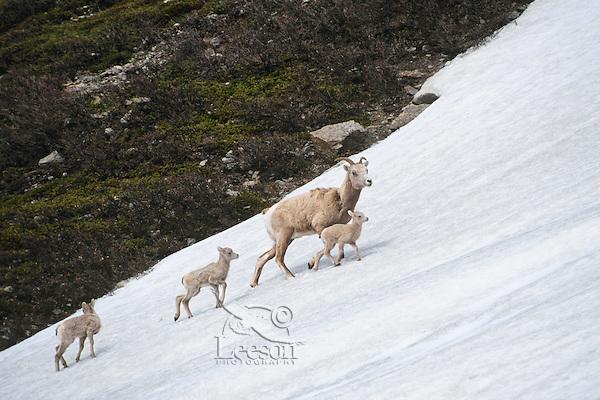 Bighorn Sheep (Ovis canadensis) ewe crossing late melting snowfield in Northern Rockies.  June.  Only one of the lambs is hers.