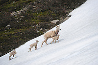 Bighorn Sheep (Ovis canadensis) ewe crossing late melting snowfield in Northern Rockies.  June.  Only one of the lambs is hers.